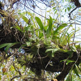 Enc. boothiana (Caymen Islands)